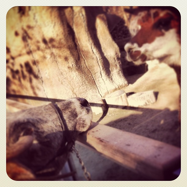 Zebu meets Alpaca. I'm going to really miss seeing these beautiful faces everyday!