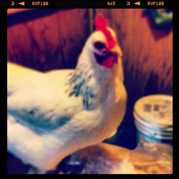 Go, chicken, go!