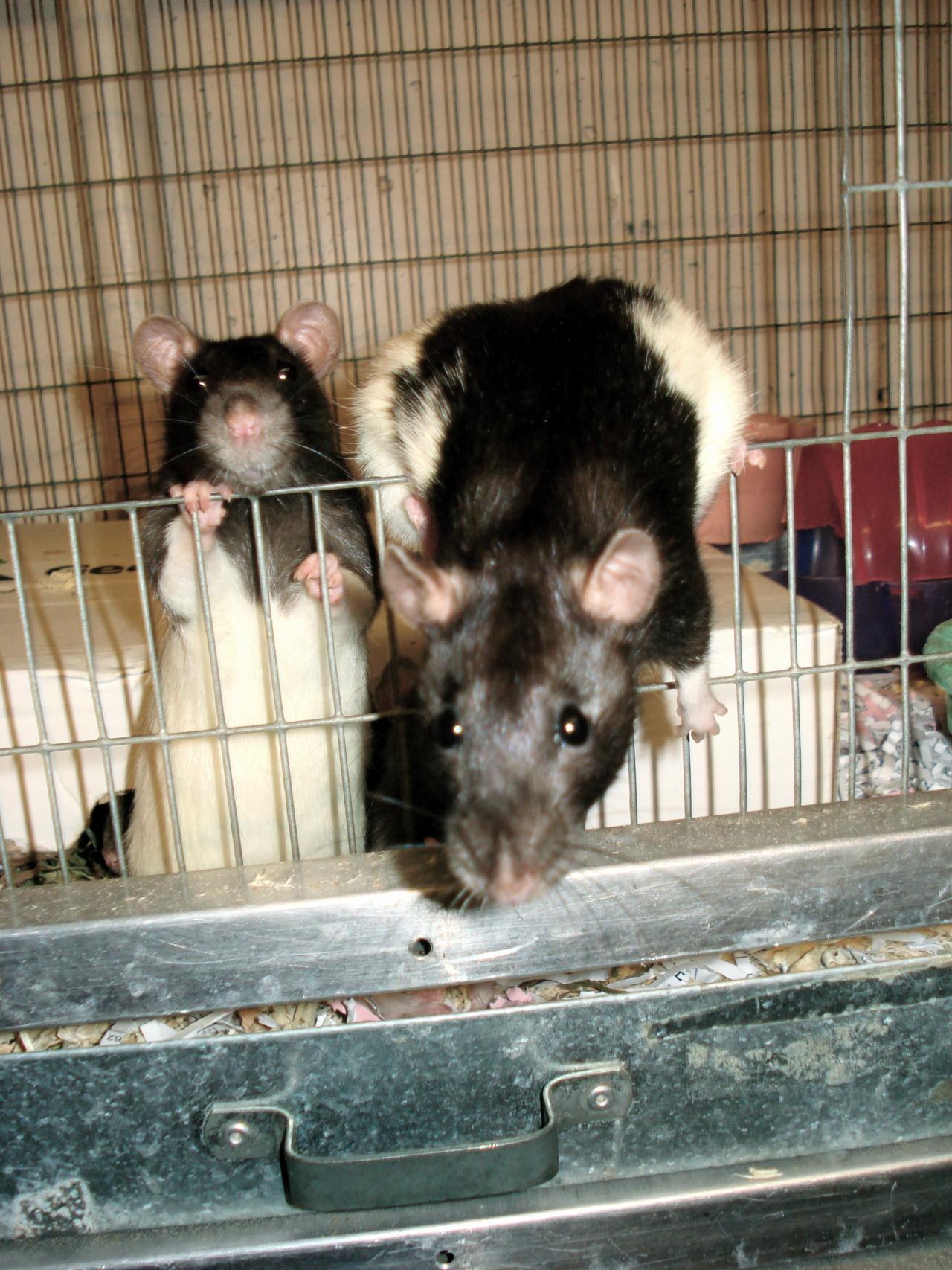 The Rainbow Rats, ready to go!