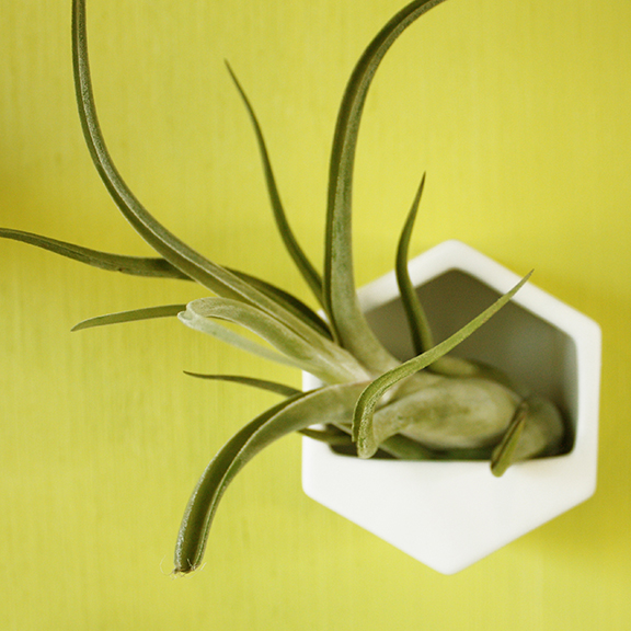 small hexagon wall planter with large air plant