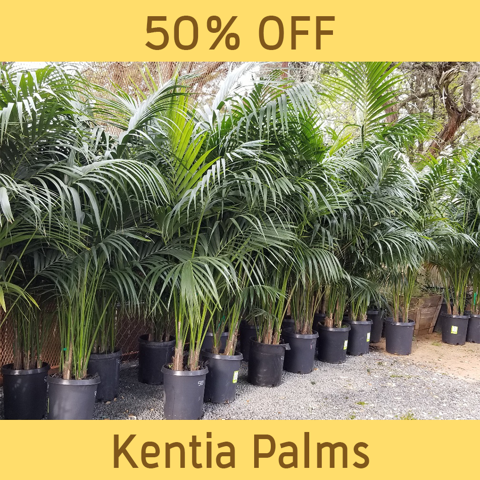 palm_Kentia-Palm-sale.png