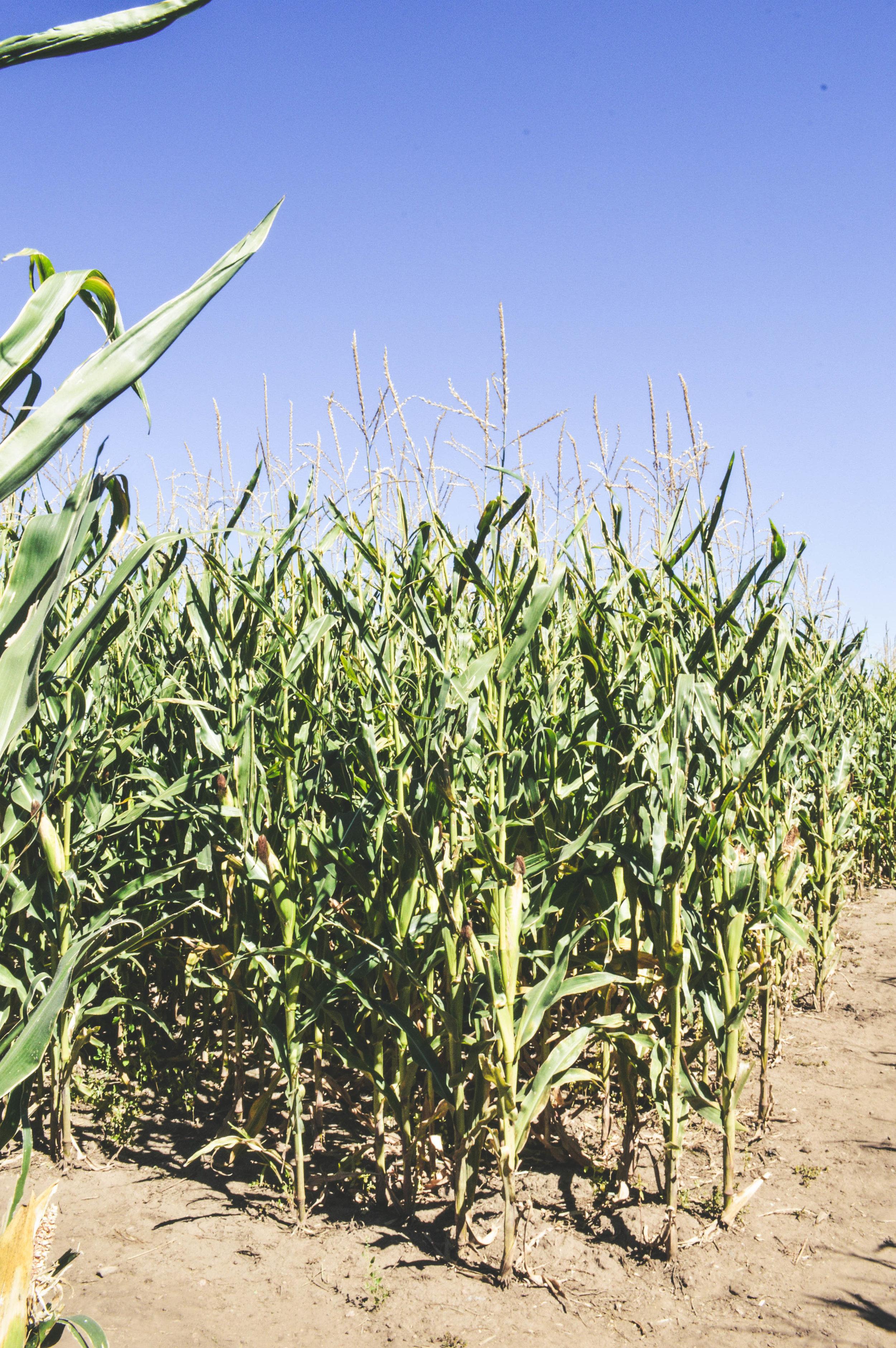 Chatfield Farms Corn Maze + SaltWaterVibes