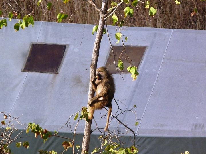 lolkisale_campsite_monkey2.jpg