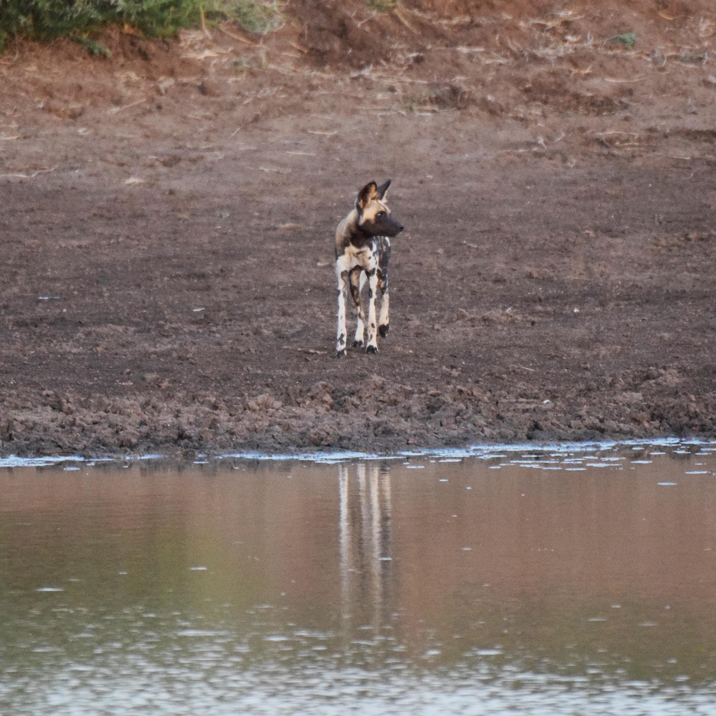 wild dog_maasai safari camp.jpg