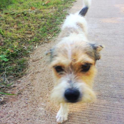 schnauzer-pai-thailand-dog-cute-love-travel-dog