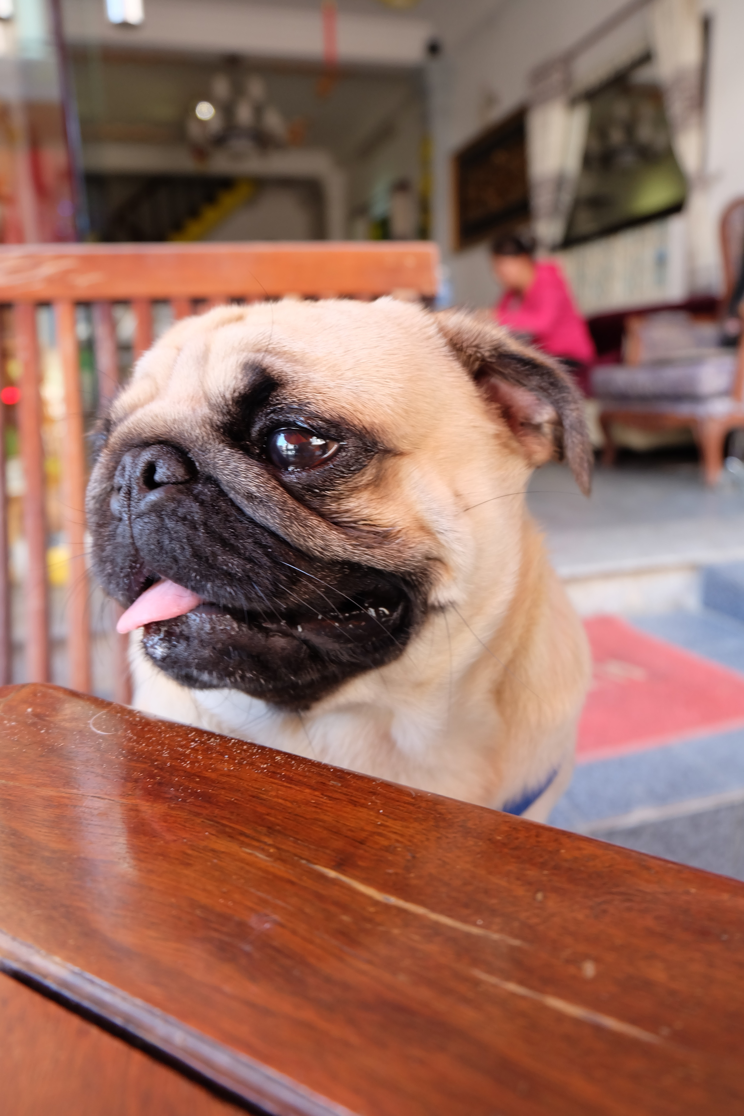 pug-vietnam-adorable-dog.JPG