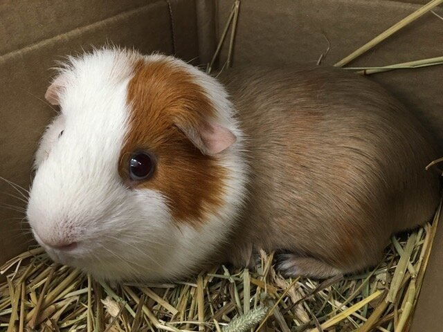 Bubulle our beloved Guinea Pig was euthanized in September 2019.  We went crazy with nose and paw prints <3  RIP Bubulle, you will be missed!