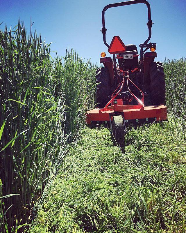On fauche les engrais verts! Les engrais verts sont des cultures (seigle ici) qui ne sont pas récoltées mais plutôt enfouies dans le sol afin de nourrir celui-ci. Ça remplace une partie de nos fertilisants biologiques traditionnels (fumiers, compost, etc). En plus, ils couvrent le sol durant l'hiver prévenant l'érosion, augmentent la biodiversité sur la ferme, améliorent la structure du sol et réduisent la pression des mauvaises herbes... on est vendus! 😃