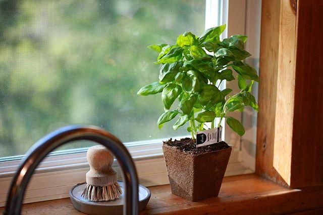 Dès mercredi vous retrouverez dans plusieurs épiceries nos magnifiques plants de basilic en pot compostable! Parfait pour être déposé sur votre comptoir de cuisine ou planté directement dans votre jardin/jardinière.  Le pot est composé à 80% de fibres de bois et 20% de tourbe. Compostable dans votre composteur maison ou celui de votre municipalité  Disponible jusqu'en décembre  Bonne dégustation ☺️