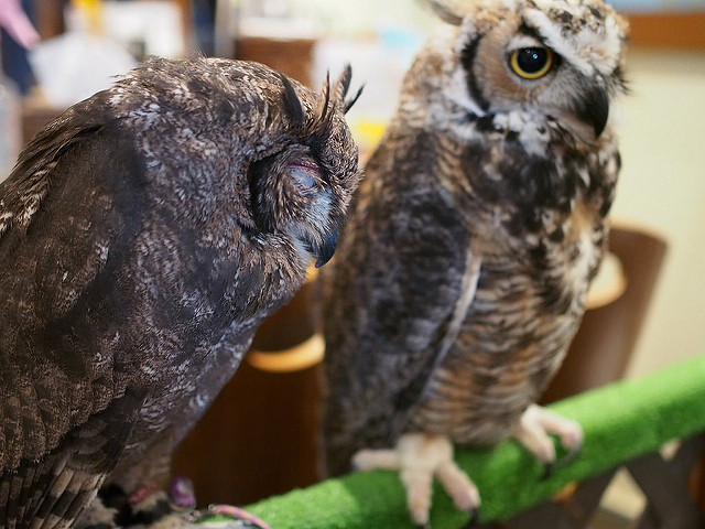 Owls looking sleepy in the owl cafe. Photo by Flickr@Toukou Sousui 淙穂鶫箜