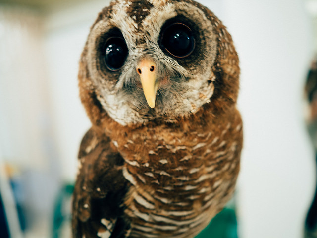 A close picture of a cute and gentle owl with marble eyes. Photo by Flickr@Tim Brennan