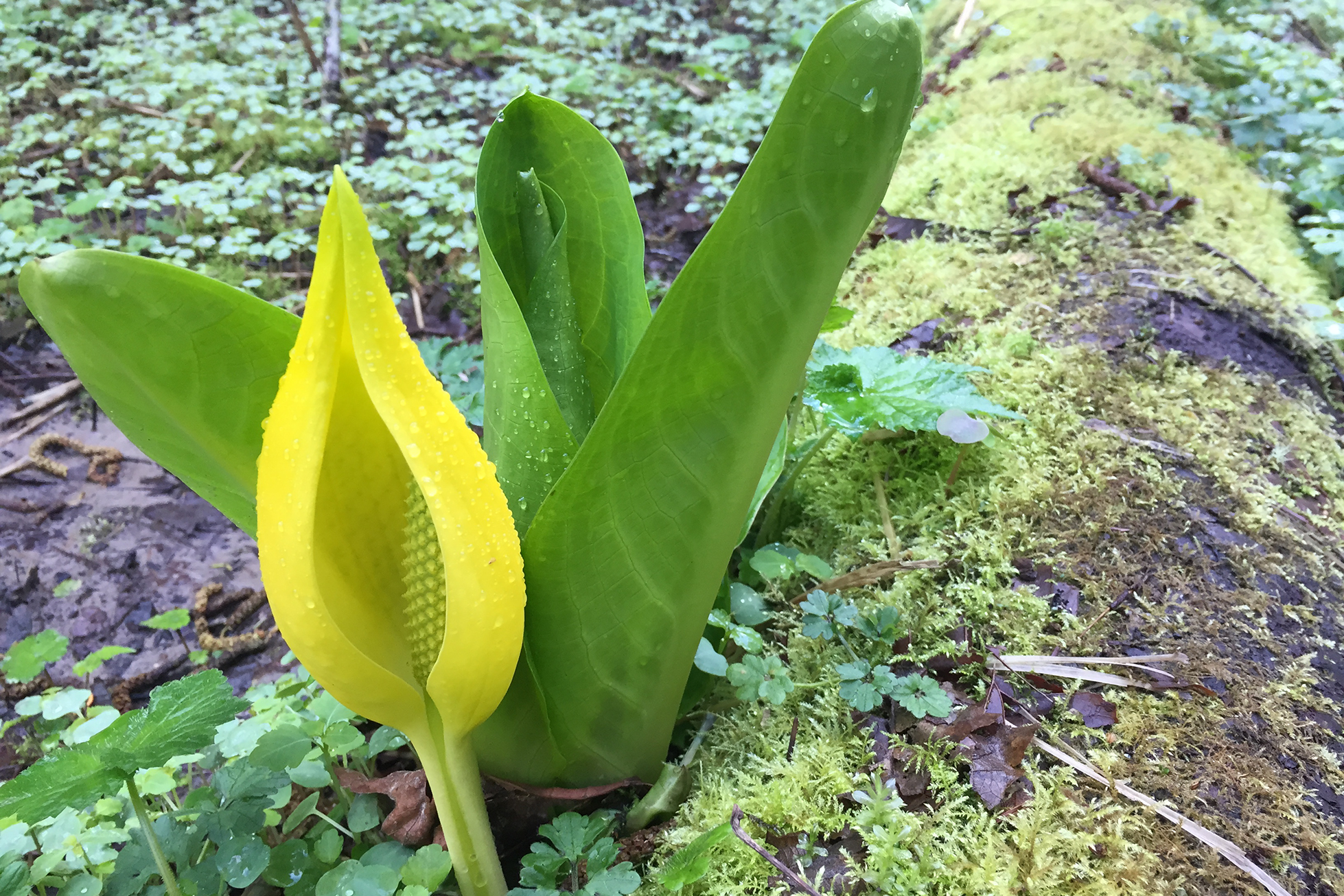 Skunk Cabbage in Tryon Creek SP.png