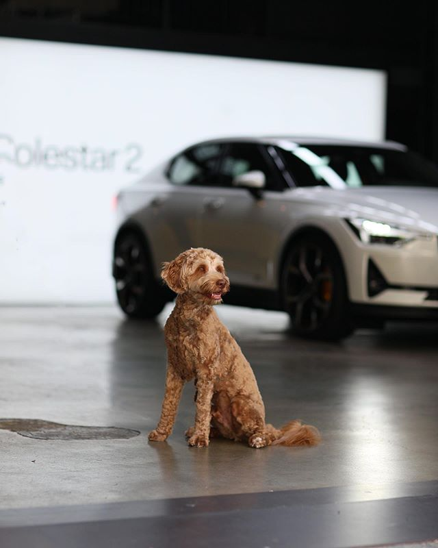 One more #tb this Thursday — because a very, V E R Y special appearance was made by our own #GMS mascot/celebrity/boss, Brady at @polestarcars showcase in San Diego! 🐕