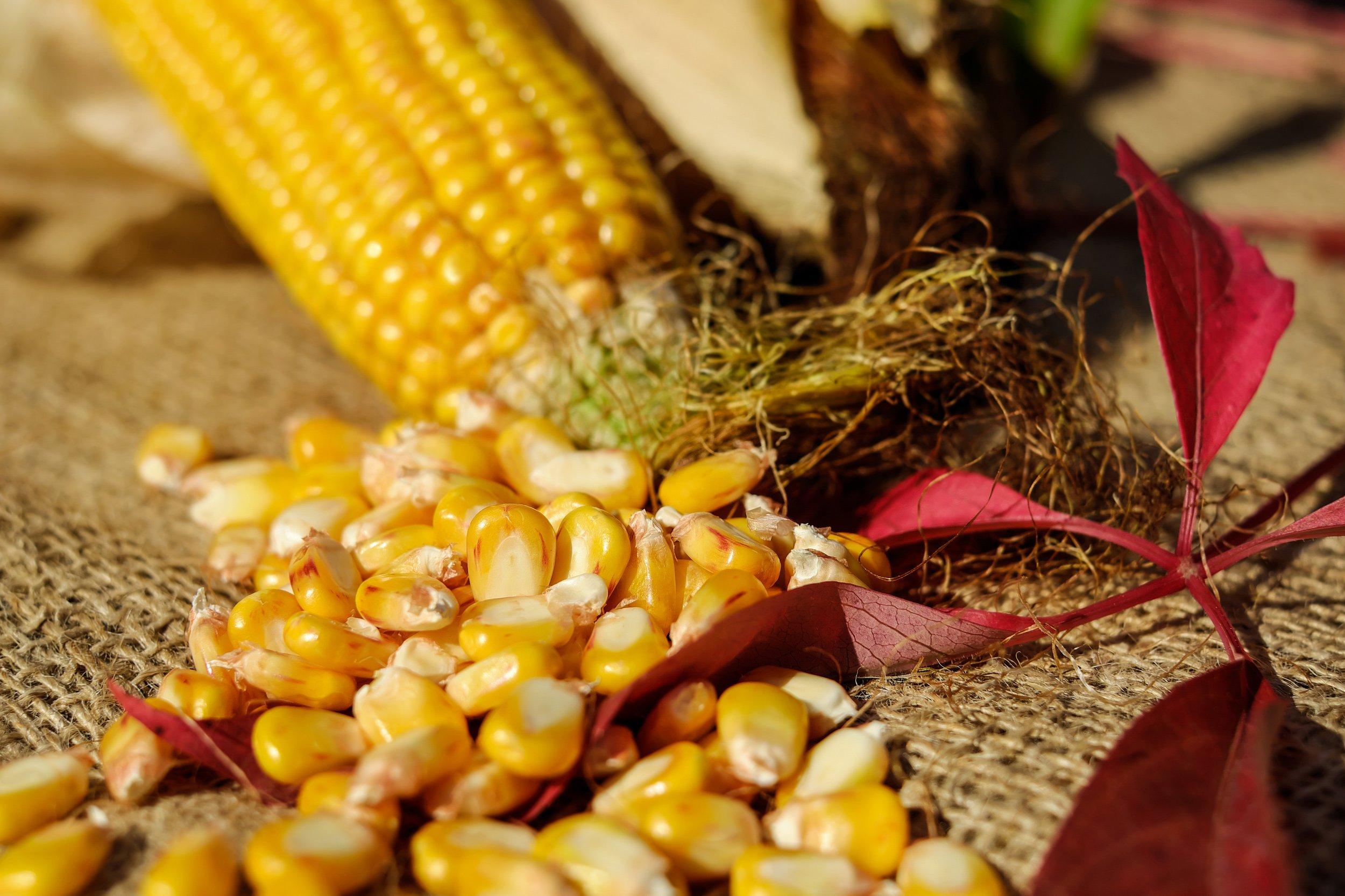 close-up-corn-corn-kernels-209389.jpg