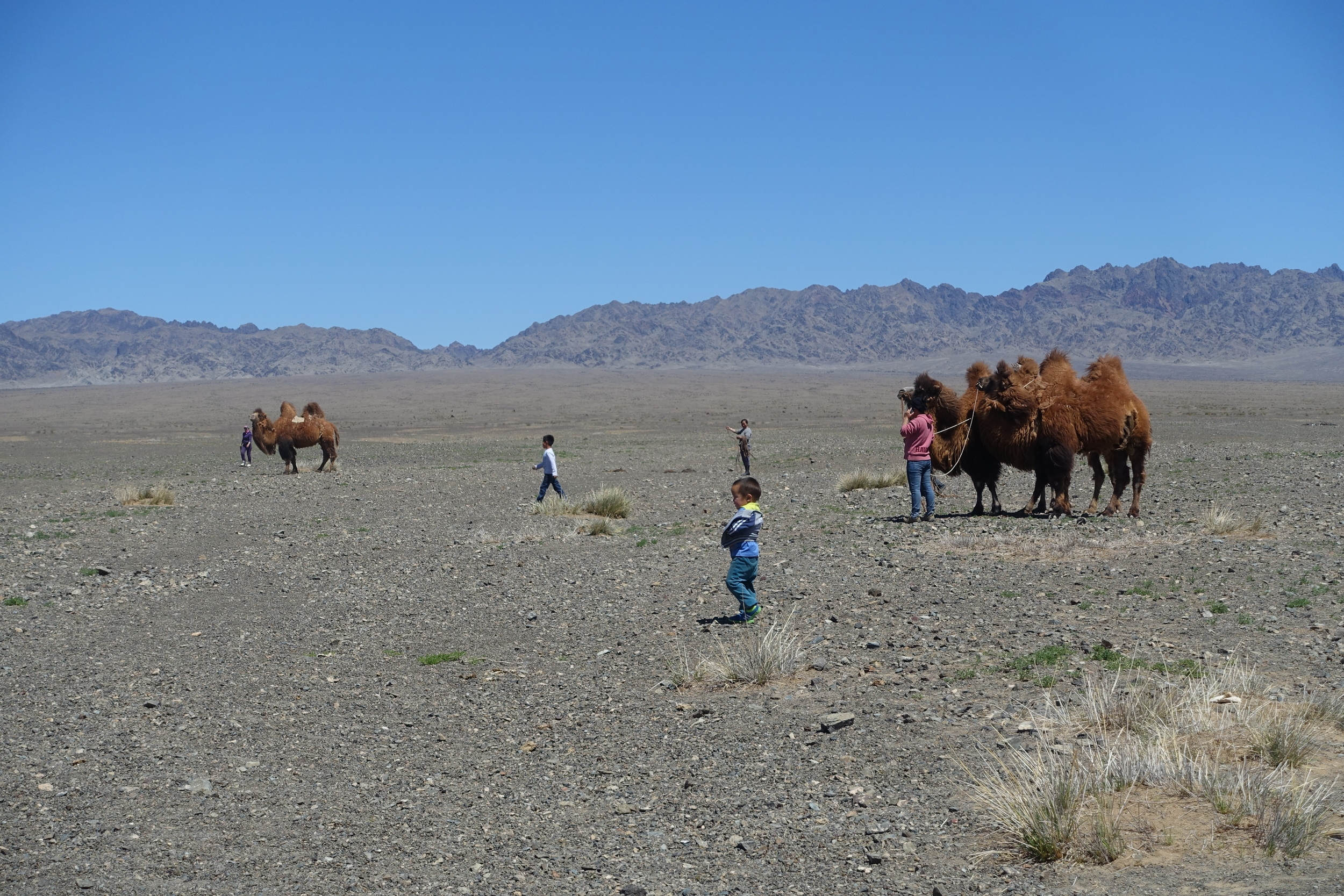 In the Gobi region, camels are used for transporting goods, but also for milk, meat and wool production. Families breeding camels also offer tourists to ride camels or participate in the shearing of wool.