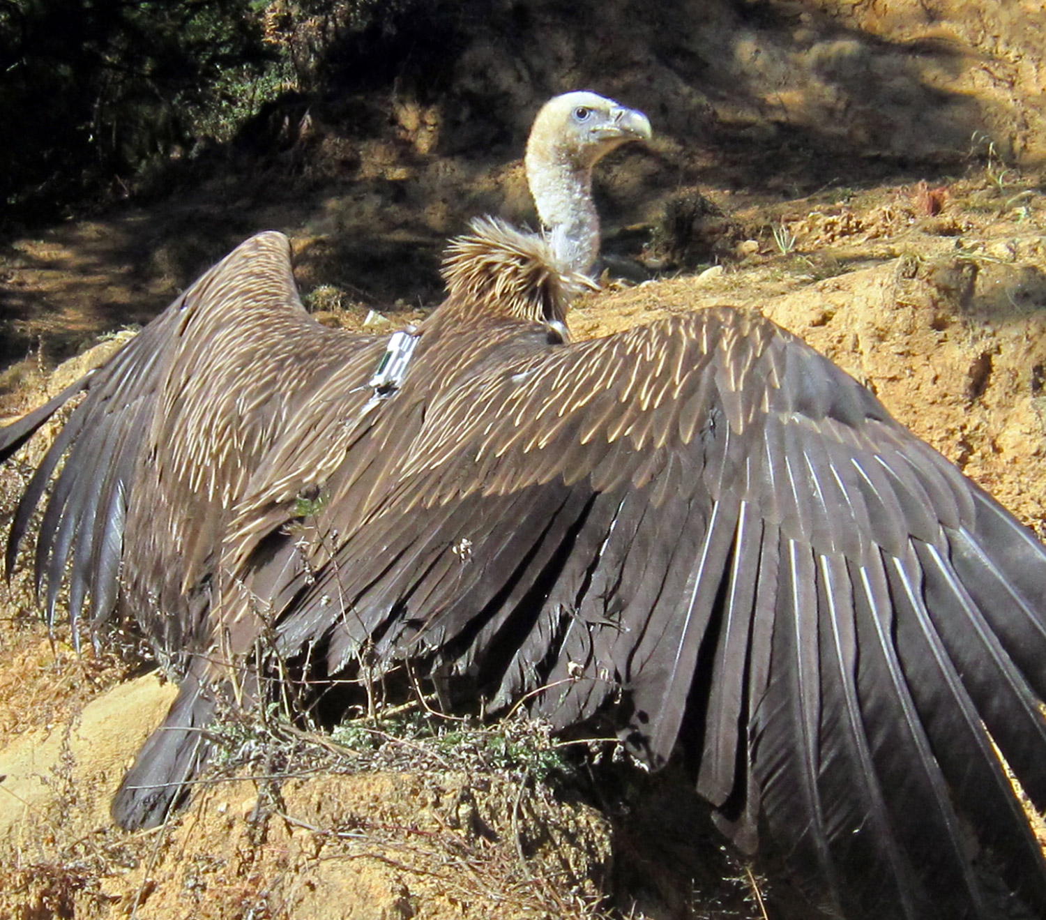 Himalayan griffon vulture carrying a telemetry backpack. Picture courtesy of Ugyen Tenzin & Max Planck Institute for Ornithology.