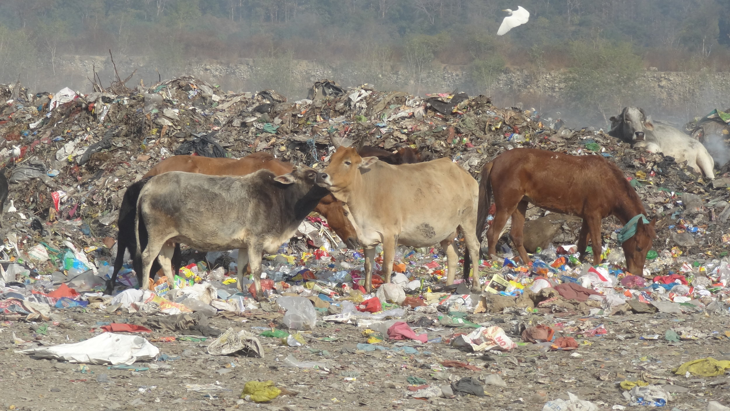 Cows feeding among (and on) plastic in a rural area of Uttarakhand.