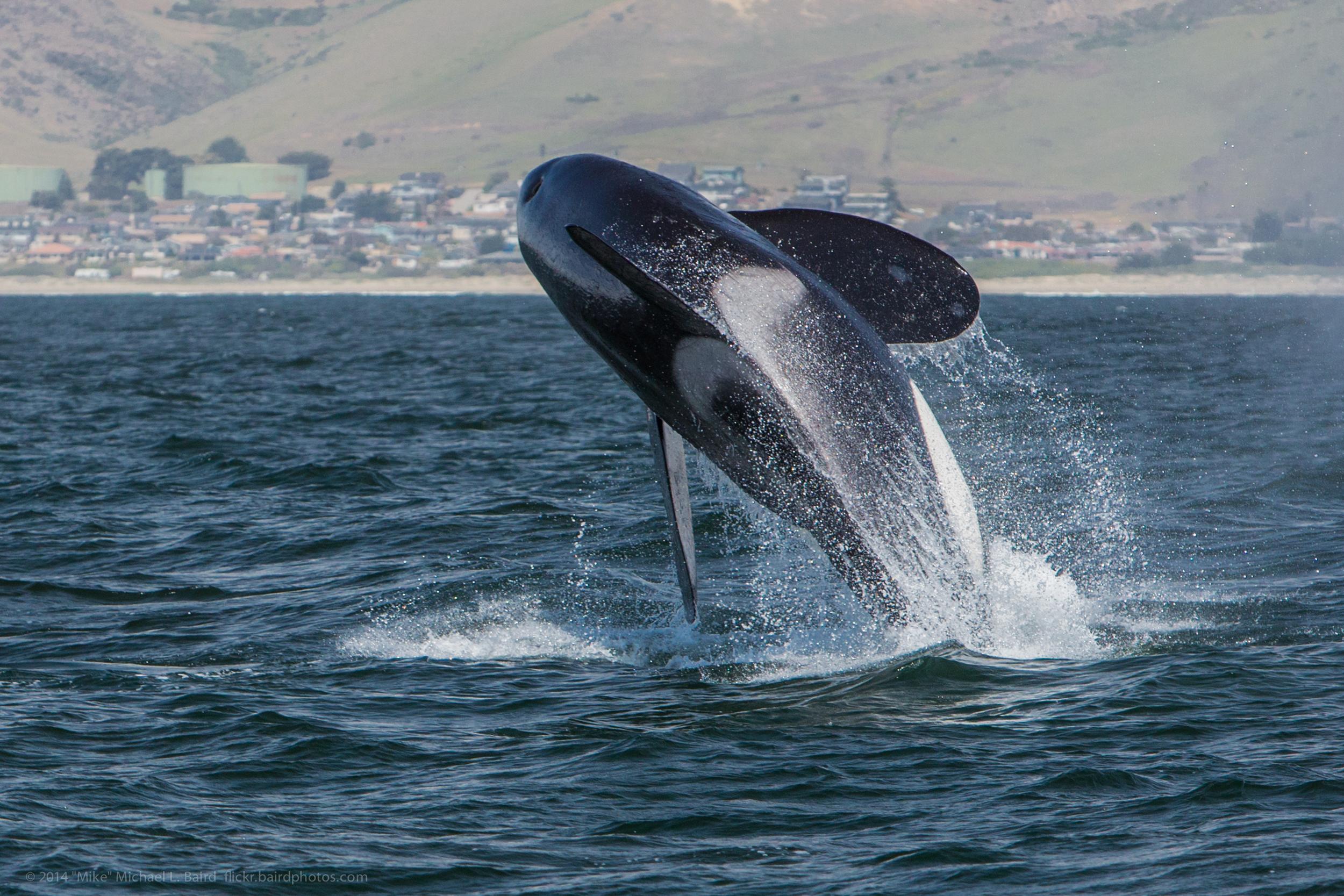 Orca,_Killer_Whale,_breaching_-_Morro_Bay,_CA_May_8,_2014_Orcinus_orca.jpg