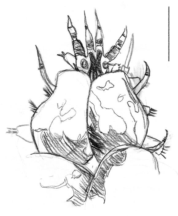 polynoidae posterior.jpg