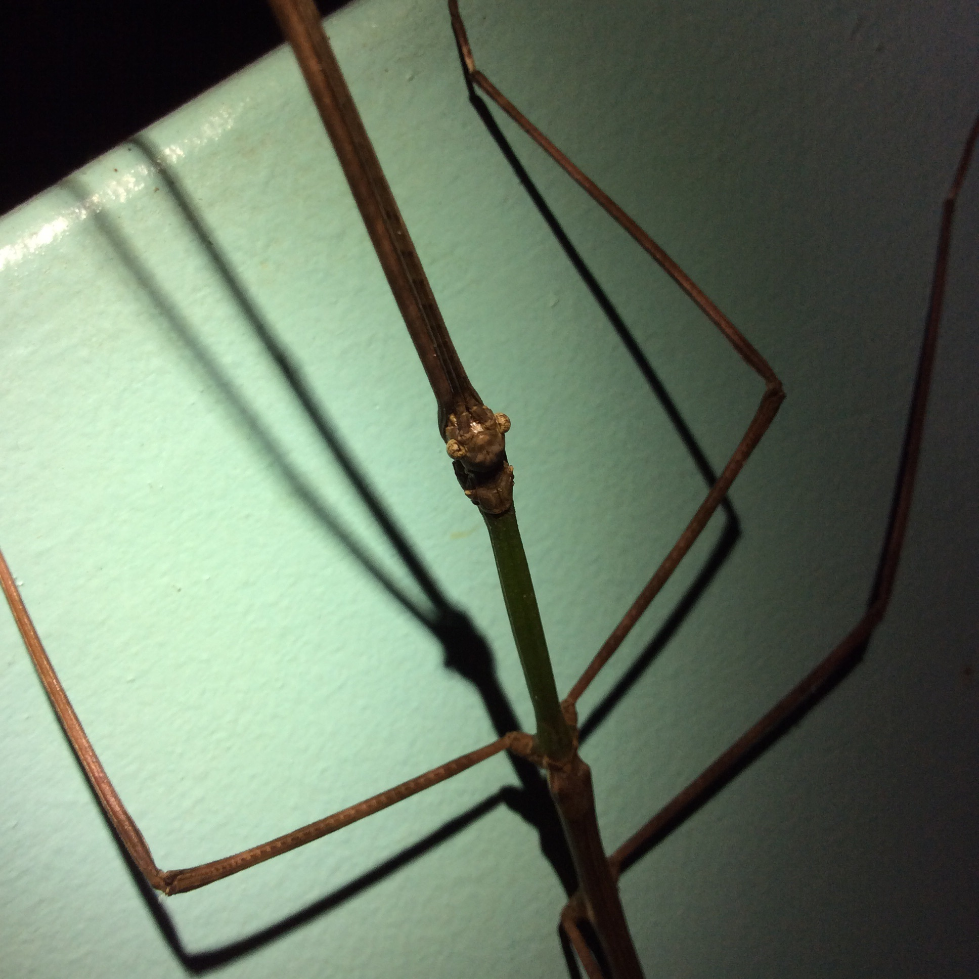 Stick bugs! This guy was about 24 cm from stick antenna to stick butt!
