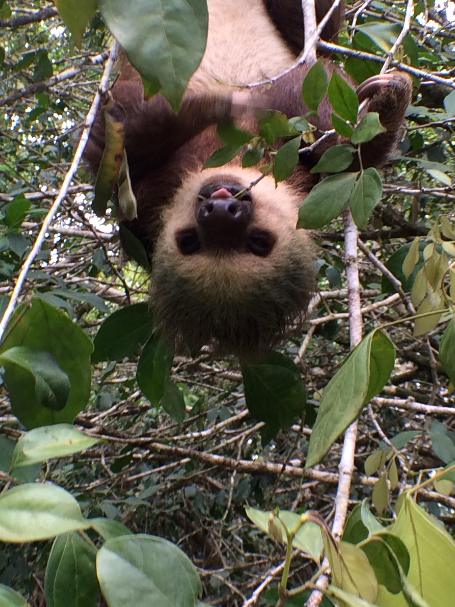 Choloepus didactylus is the scientific name for this two-toed sloth. They are even cuter in person. If you can believe that. (Seriously. They are.)