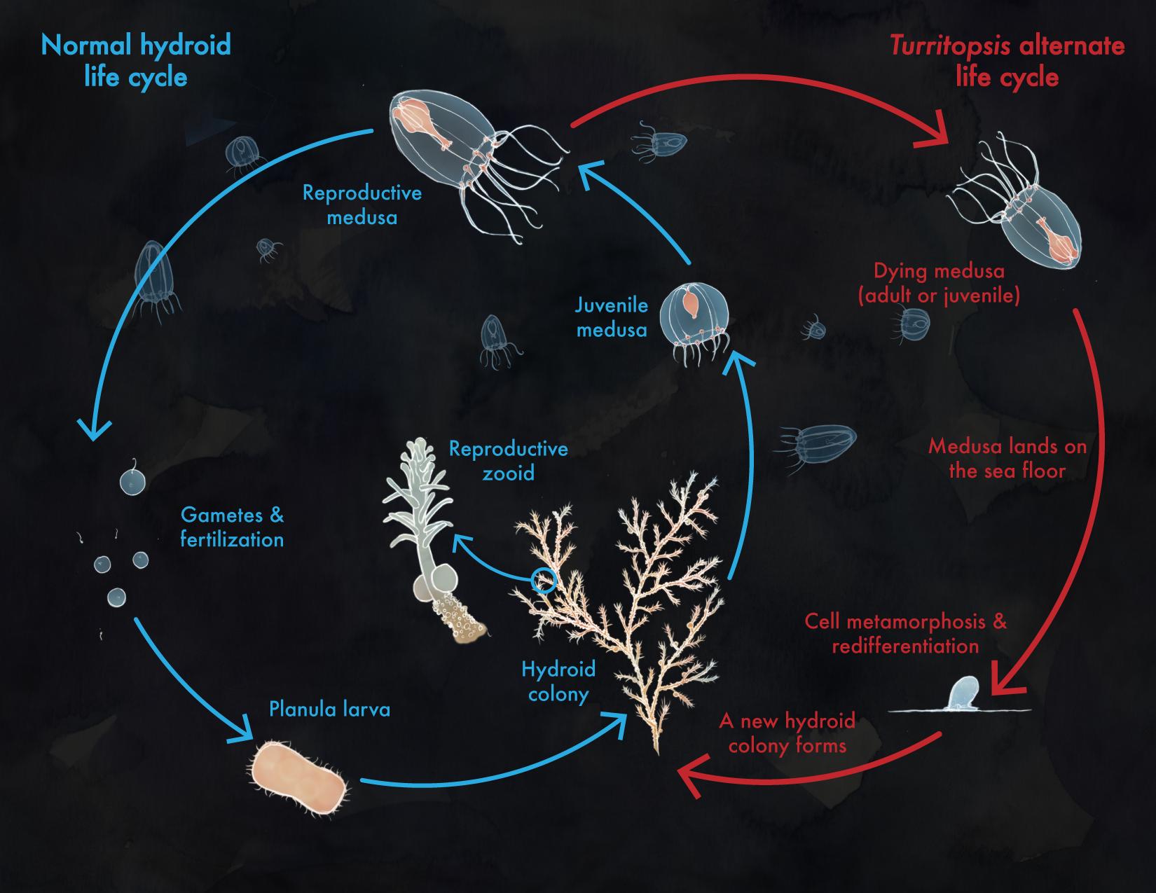 Turritopsis Life Cycle
