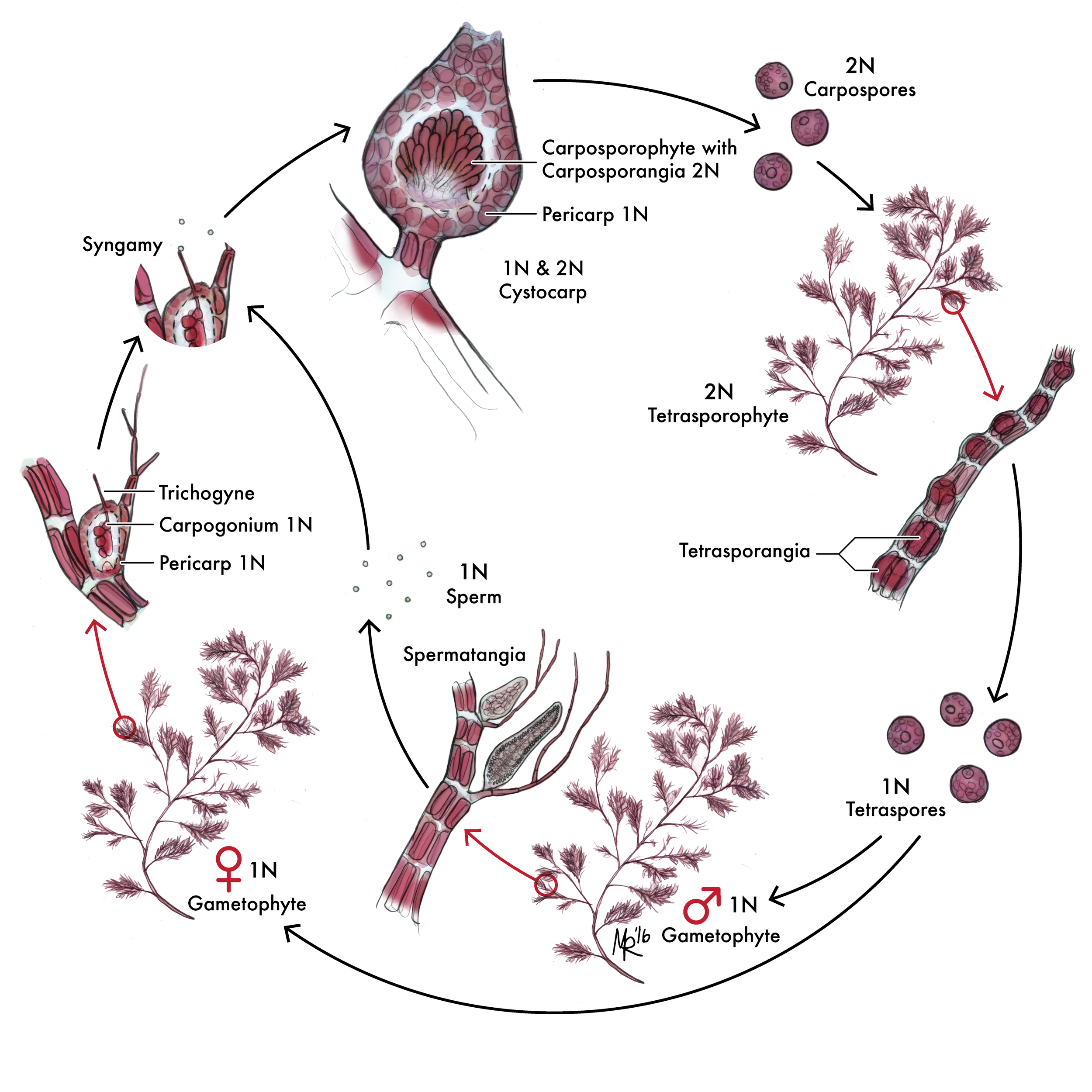 Polysiphonia Life Cycle