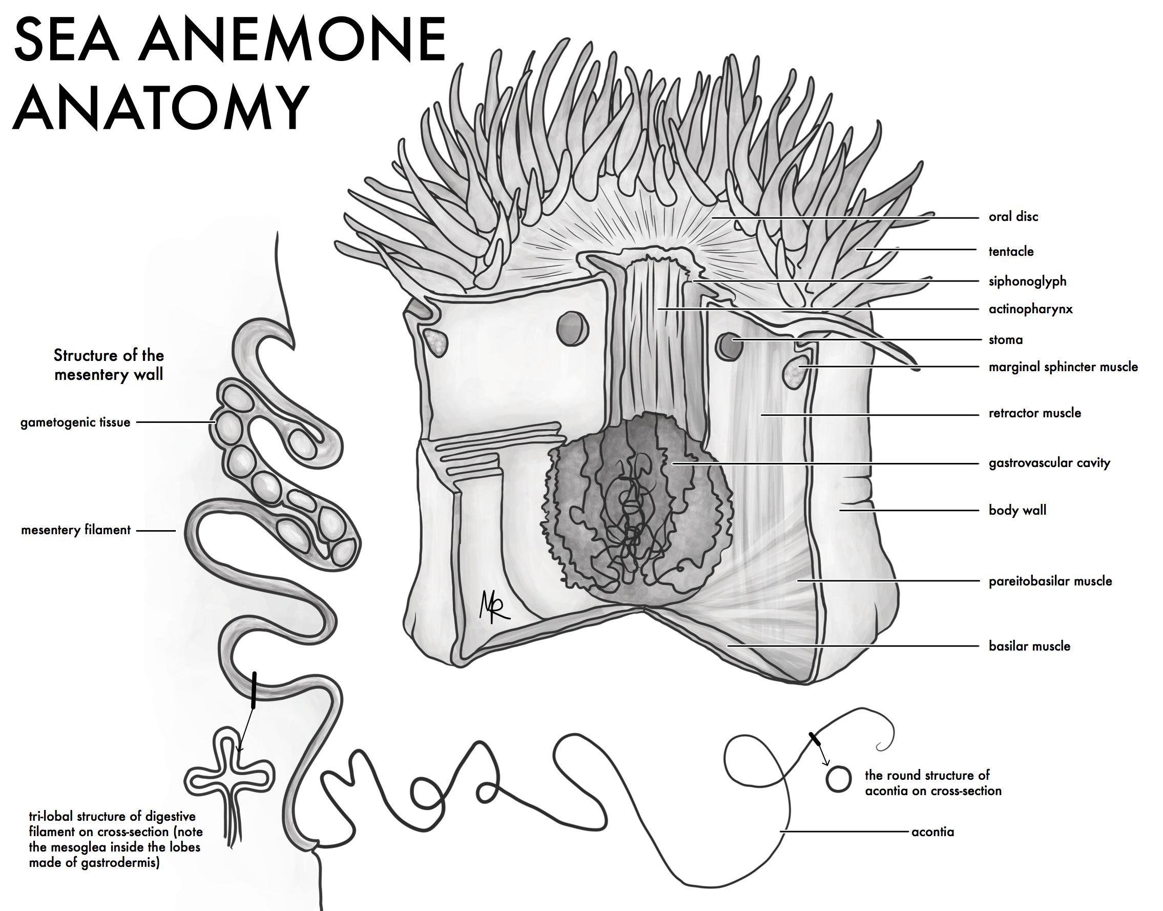 Sea Anemone Anatomy Cut-Away