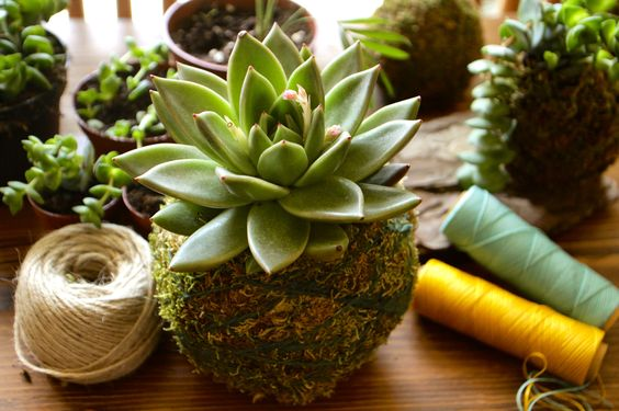 succulent kokes.jpg