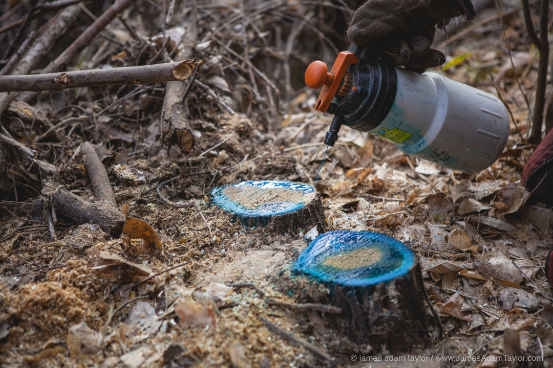 Herbicide is applied intentionally only to the cambium layer around the outer edge of the stump, this will prevent re-sprouting and kill the roots.