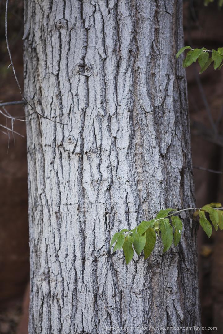 A native Cottonwood trunk.