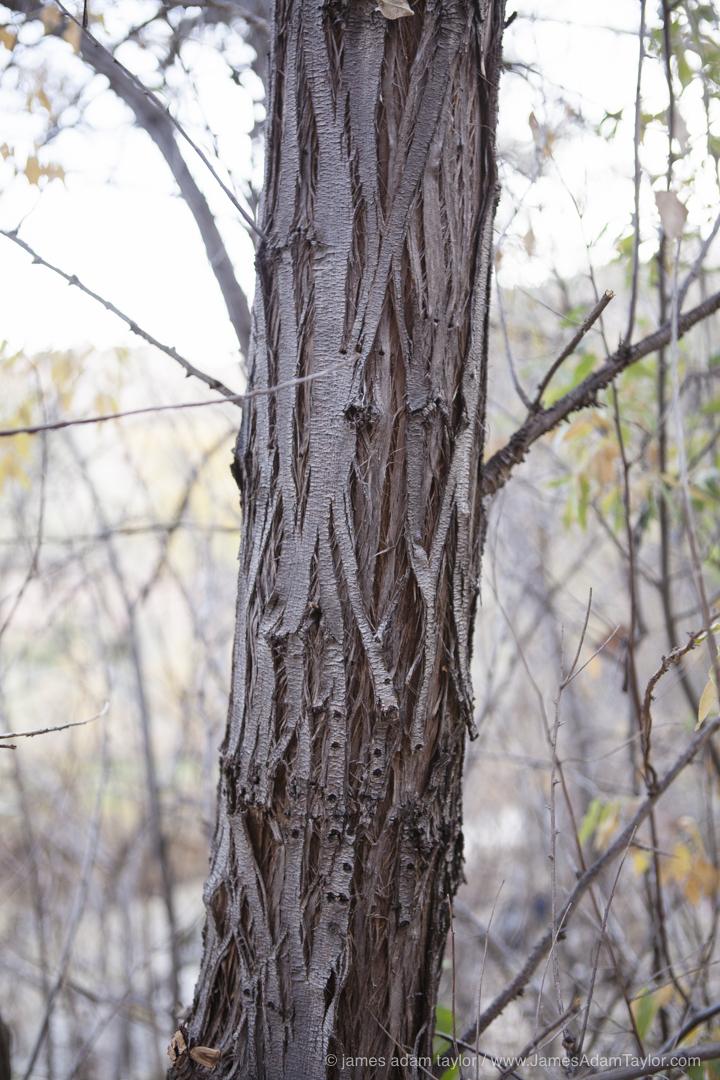 Dark Furrowed bark of the invasive Russian Olive.