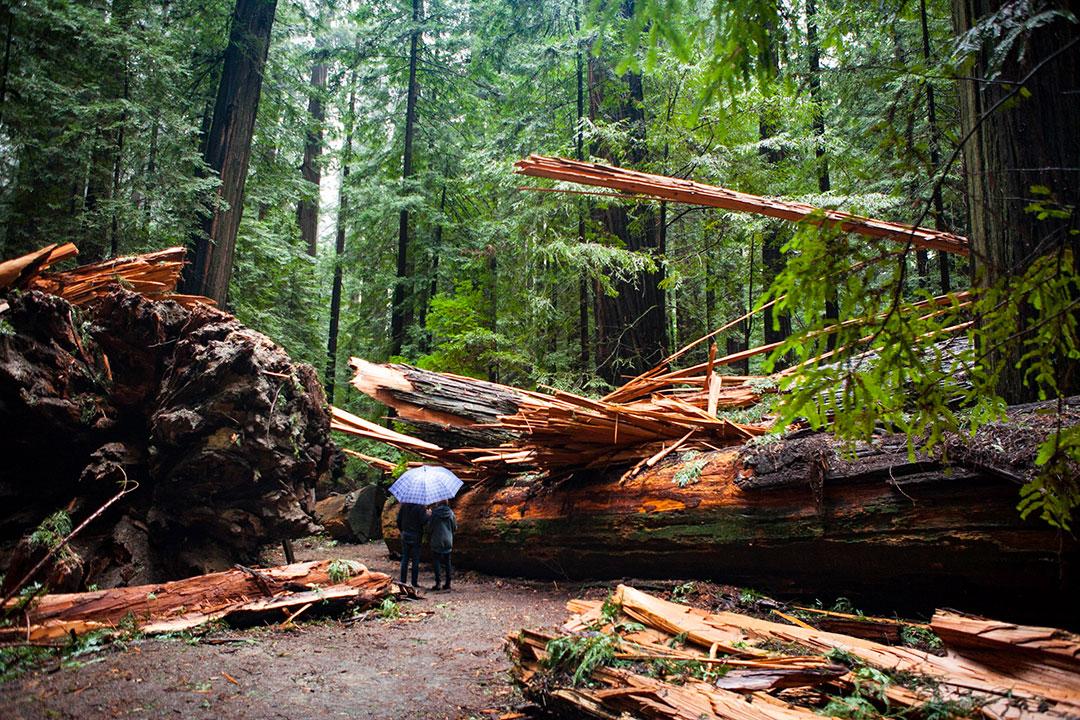 Humboldt Redwoods Couple
