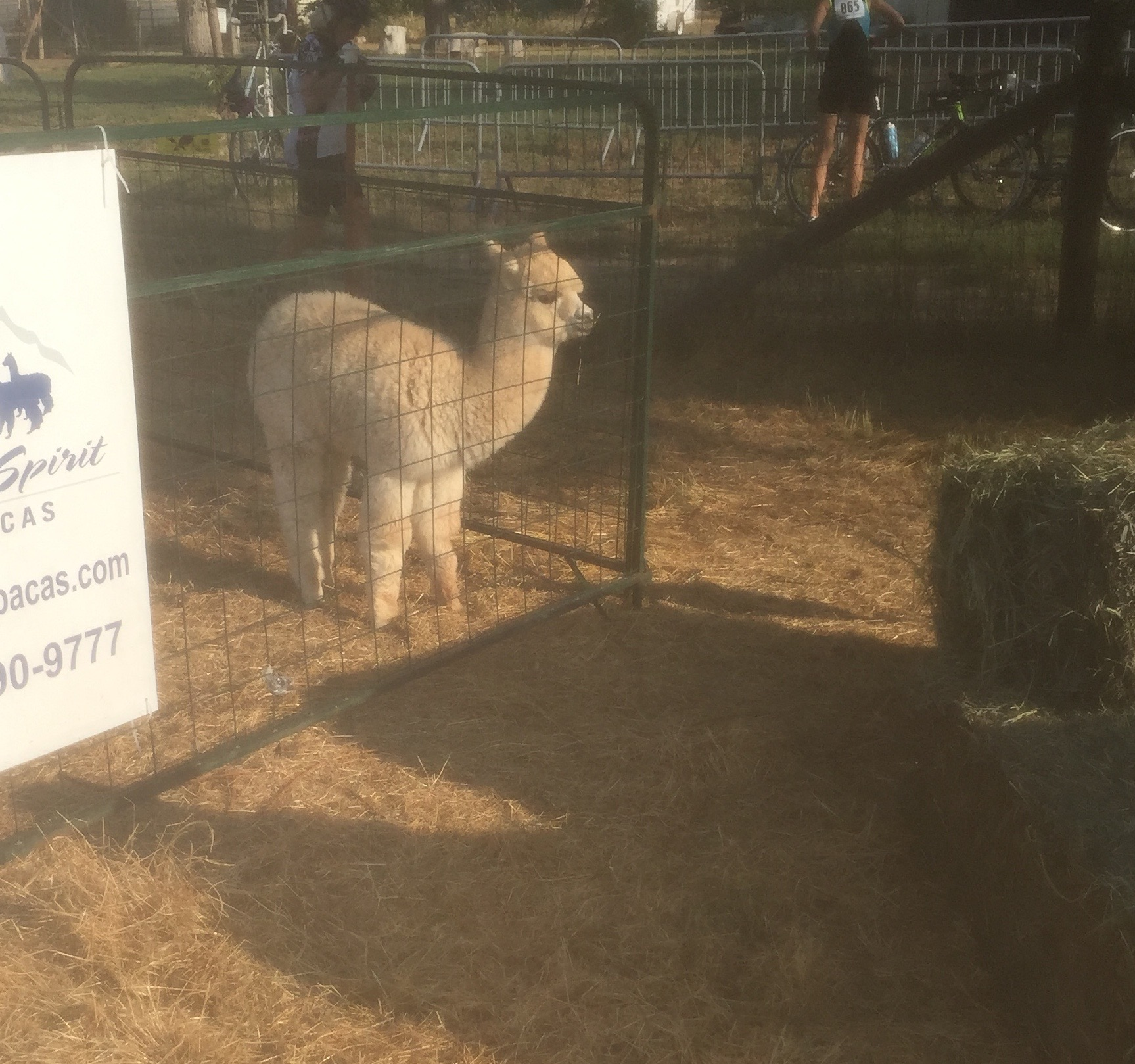 Baby llama. Please excuse the fuzzy picture, sweaty camera lense. :/