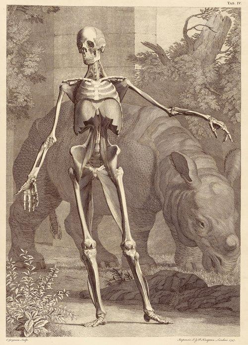 Bernhard Siegfried Albinus, Clara the Rhino and a human skeleton, engraving from  Tabuloae sceleti et musculorum corporis humani , 1747.