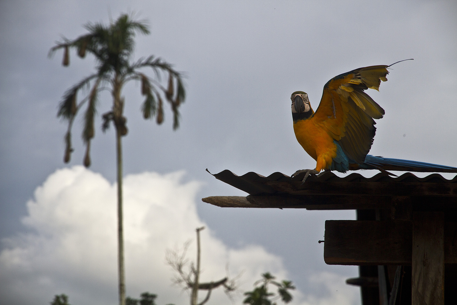 Lagunas Macaw.jpg
