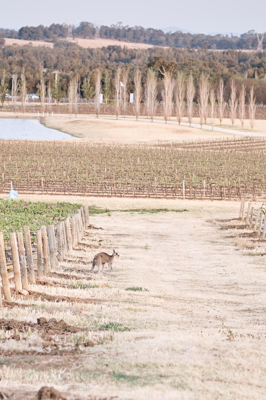 Kangaroo in Vineyard at Estate Tuscany Pokolbin in the Hunter Valley by wedding photographer Joshua Witheford