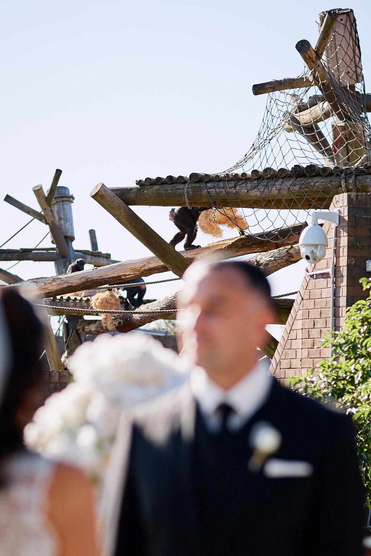 Chimpanzee behind groom by Blue Mountains wedding photographer Joshua Witheford