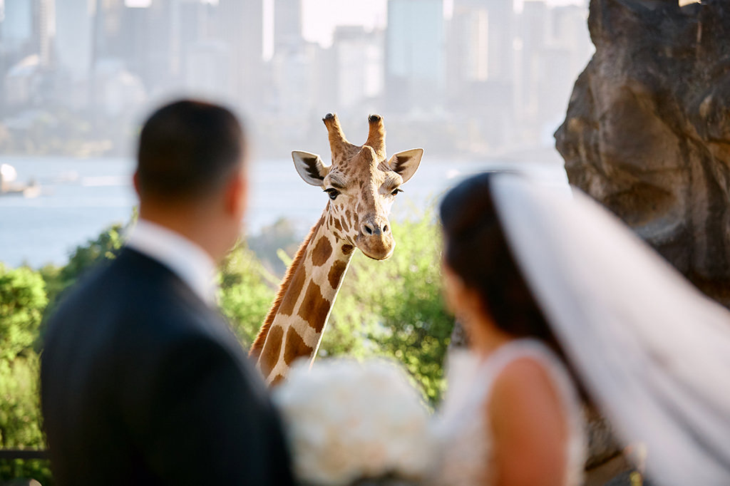 Giraffe watching newly married bride and groom at Taronga zoo by Blue Mountains wedding photographer Joshua Witheford