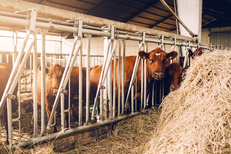 Cows in Sweden at Ängavallen by The Blonde Vagabond.jpg