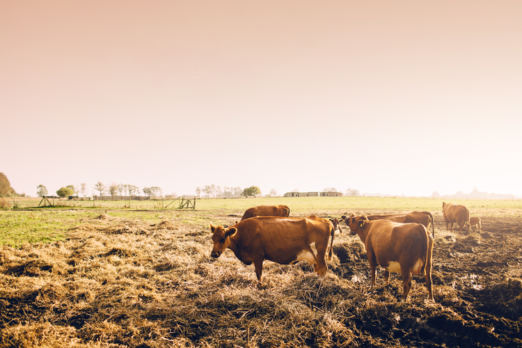 Cows in Swedish Countryside by The Blonde Vagabond.jpg