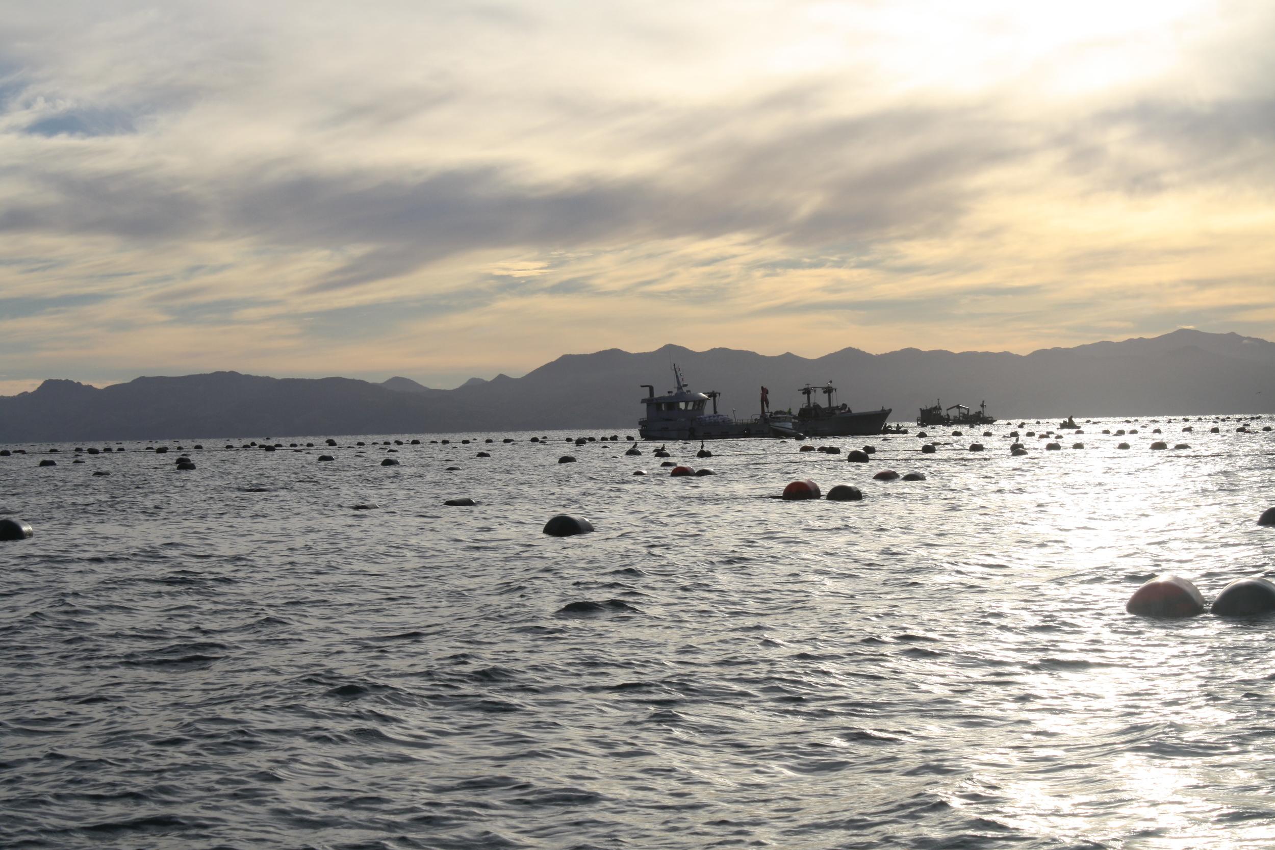 Mussel farming in the Hauraki Gulf