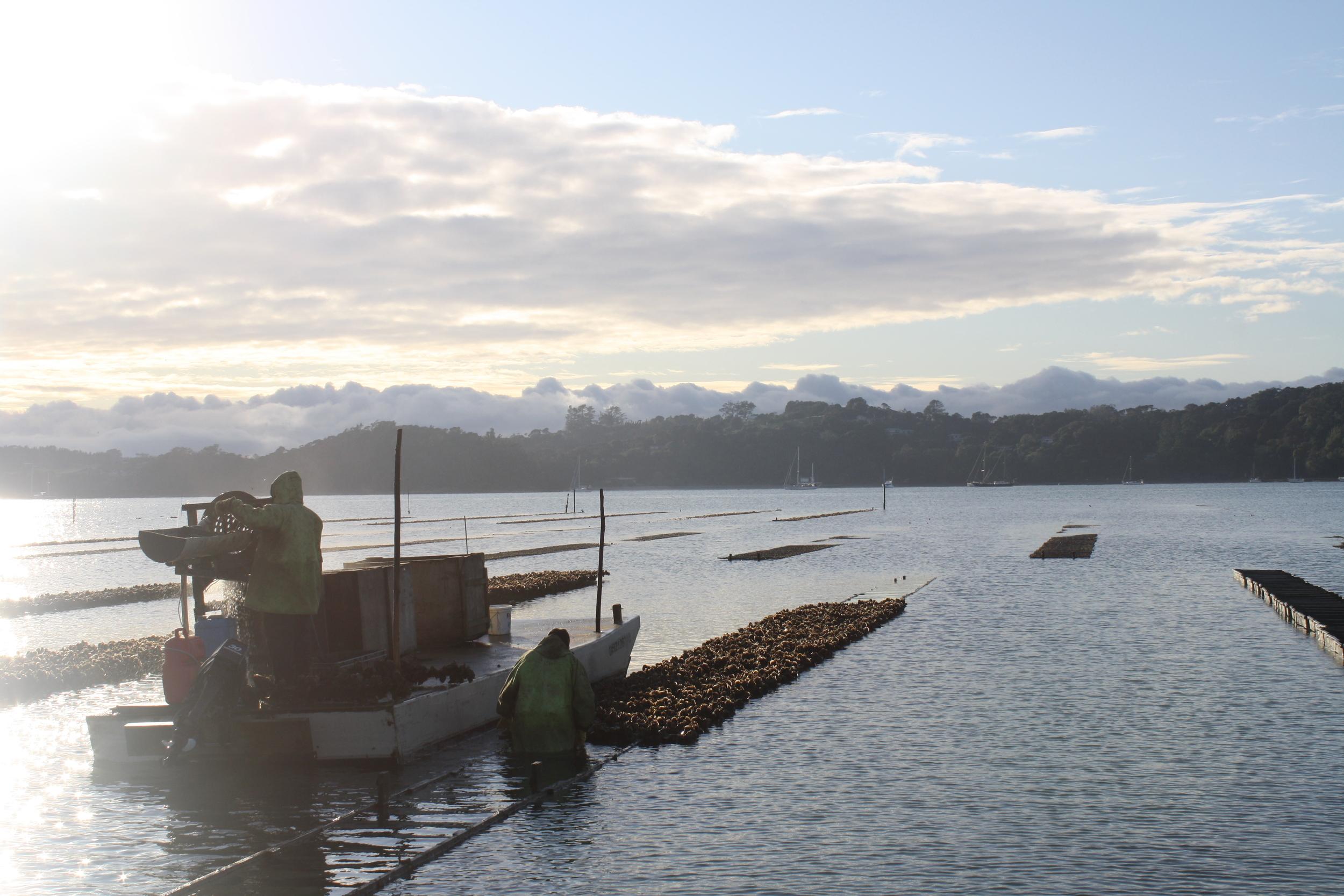 Early morning harvest at Mahurangi Oysters
