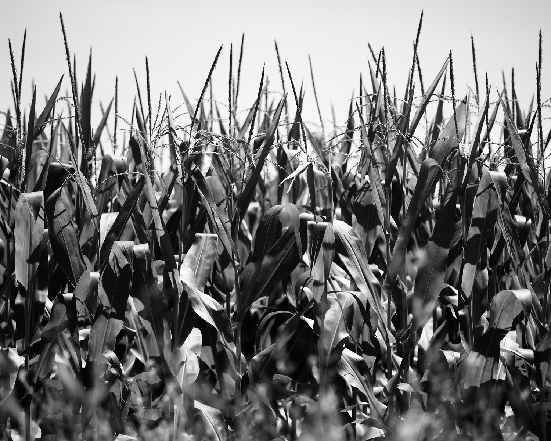 Cornfield In Noon Sun, Baldwin City, Kansas, 2015