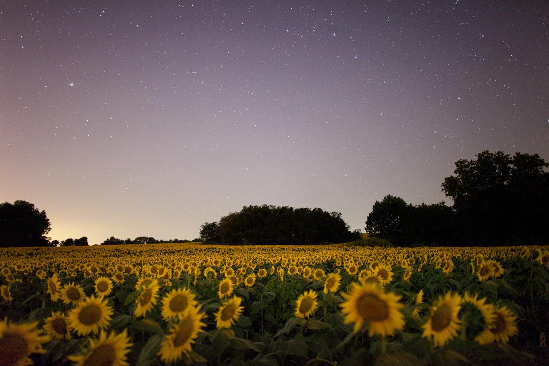 Grinter Sunflower Farms, Douglas County, Kansas, 2015