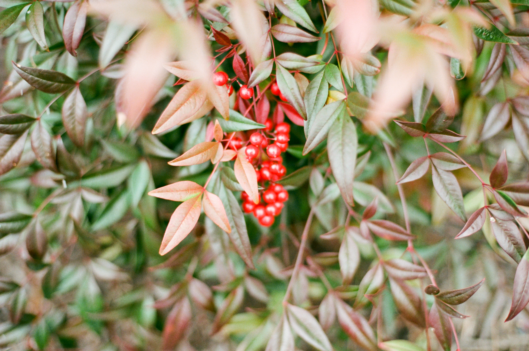 Because when you have a film camera in your hands and you see a green bush with pretty red berries on it, you have to photograph it!