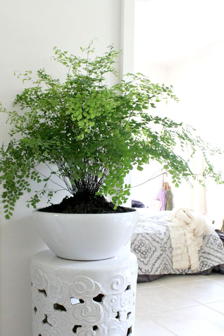 The Maidenhair Fern (Adiantum Raddianum) is a tropical Plant that has high diversity in Asia and very well suited for the Indian Subcontinent.Their light green, feathery-like foliage adds unique charm to just about any setting.