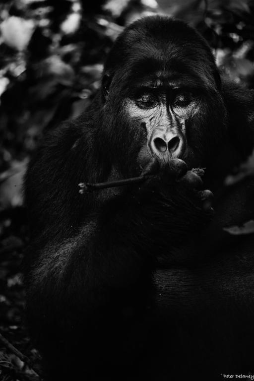 bwindi-gorillas--03.jpg