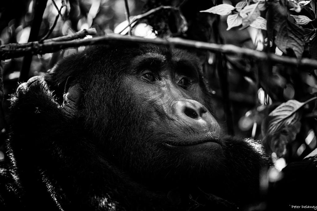bwindi-gorillas--02.jpg