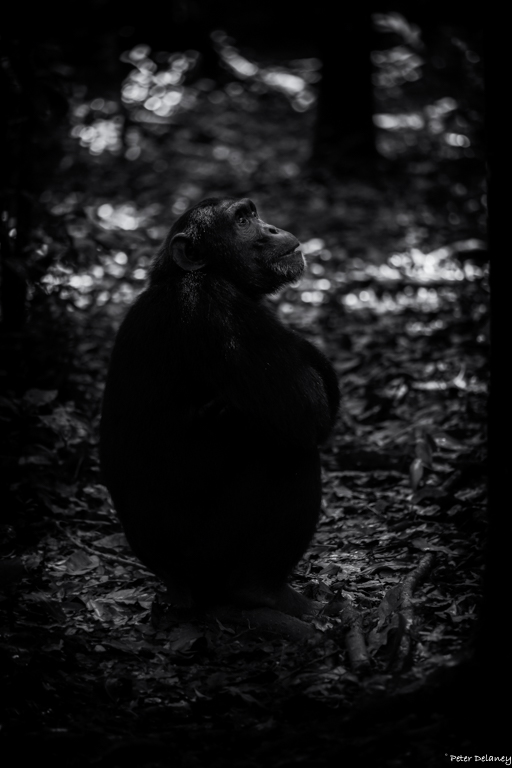 chibale-chimps-06.jpg